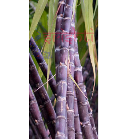 SRPP-Fresh Sugarcane (Full stem) USA & CANADA